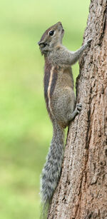 Indian Palm Squirrel Portrait