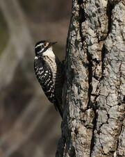 Picoides nuttallii -Olive View, Sylmar, California, USA -female-8