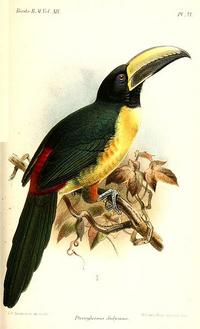 PteroglossusDidymusKeulemans