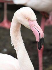Greater Flamingo 654