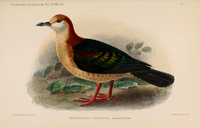 New Britain Bronzewing