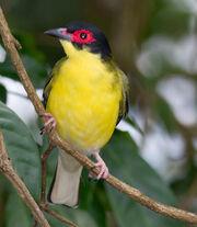 Sphecotheres vieilloti -Cairns, Queensland, Australia -male-8