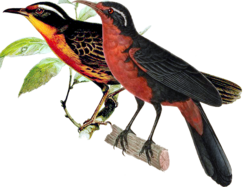 Rosy Thrush-Tanager