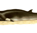 Common Minke Whale