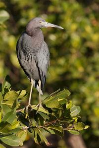 Little Blue Heron 9871