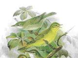 Tree warbler
