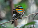 Spotted Wood Kingfisher