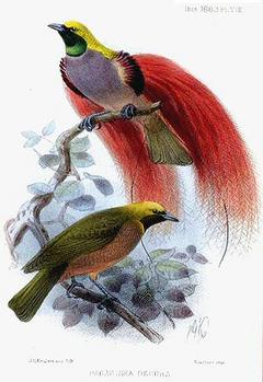 Goldies Bird-of-paradise