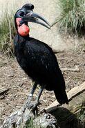 Bucorvus abyssinicus -San Diego Zoo-8