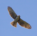 White-throated Hawk.png