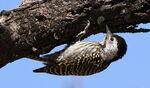 Female Cardinal Woodpecker