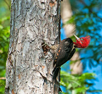 Robust Woodpecker