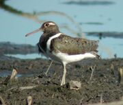 Australian Painted-Snipe female Nov02