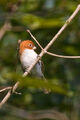 Greater Rufous-headed Parrotbill (Paradoxornis ruficeps)