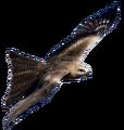 Black Kite.png