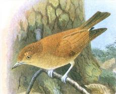 Hypocryptadius cinnamomeus Goodchild