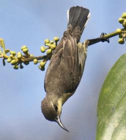 Ruby-cheeked Sunbird - Chalcoparia singalensis2