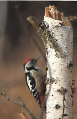 Middle Spotted Woodpecker2