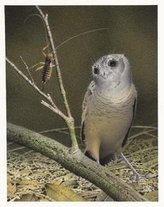 New Zealand Owlet-nightjar