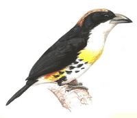 Spot-crowned Barbet
