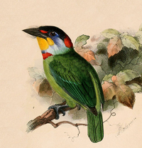 Chinese Barbet