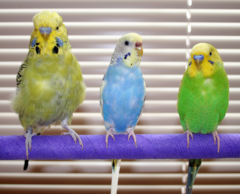 English and American Budgerigars