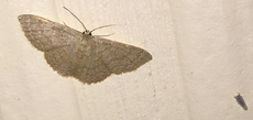 Geometer with planthopper