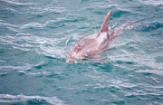 Burrunan Dolphin