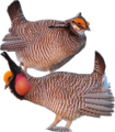 Lesser Prairie-Chicken.png