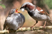 Passer domesticus -male feeding chick-8