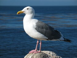 Gull ca usa