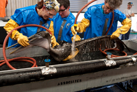 People washing oiled Brown Pelican