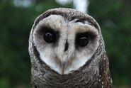 Lesser Sooty Owl at Bonadio's Mabi Wildlife Reserve