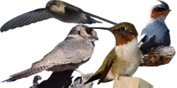 Apodiformes diversity
