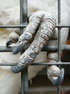 Closeup of a cockatoo's left foot grasping the wires of a cage. The foot is covered with grey-scaly skin and has four toes each with a dark grey curved claw