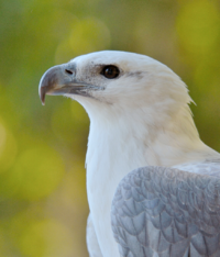 White-bellied Sea Eagle portrait