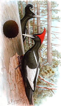 Imperial Woodpeckers illustration