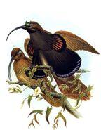 Epimachus albertisii by Bowdler Sharpe