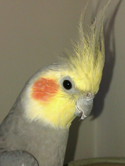 Male Cockatiel