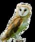 Western Barn-Owl