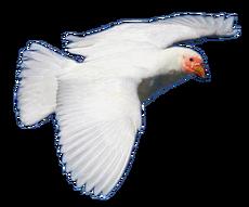 Red-masked Sheathbill