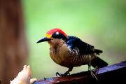 Melanerpes pucherani -Costa Rica -female-8