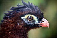 Nothocrax urumutum -head -zoo-8a