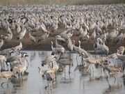 PikiWiki Israel 7524 Cranes