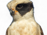 Buckley's Forest-Falcon
