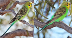 Male and female wild Budgerigars