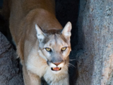 Puma (genus)