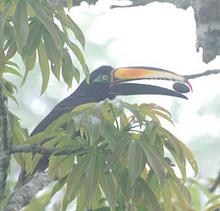 Many-banded Aracari cropped
