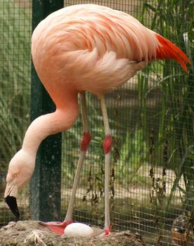 Chilenischer Flamingo Tiergarten Bernburg 2007