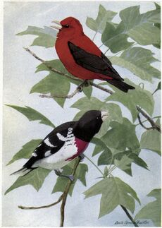 Redcoat the Scarlet Tanager, Rosebreast the Grosbeak